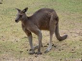 pic of tammar wallaby  - this is an example of a large male eastern grey kangaroo - JPG
