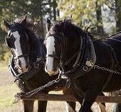image of workhorses  - shire horses pulling cart in harness pair workhorses - JPG