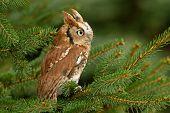 An Eastern Screech Owl