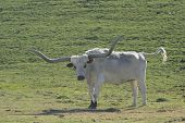 Angry Longhorn