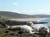 Lambs by Woolacombe Bay