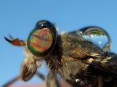 stock photo of gadfly  - The gadfly which has a little got wet - JPG