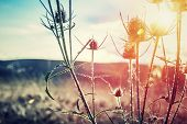 Thistle on sunset, thorny weed growing on wild field, beauty of wild nature, amazing landscape, autu poster