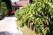 Tuscan Villa & Grapes