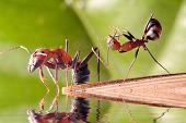 Tumbles ANT