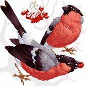 Vector bullfinch and ashberry 3
