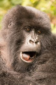 picture of gorilla  - A gorilla in the forest of the Parc National des Volcans in Rwanda yawns showing its tongue and a few teeth - JPG