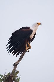 stock photo of fish-eagle  - An African fish eagle with a white neck yellow beak and talons and brown wings is perched on the top branch of a tree. In the background is a perfect blue sky.