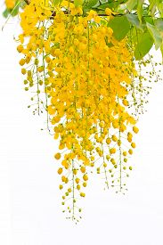 pic of cassia  - Cassia fistula beautiful yellow flower on isolated white background