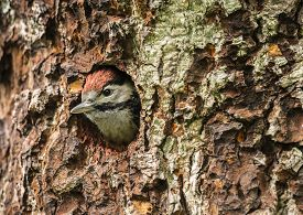 picture of woodpecker  - Great spotted woodpecker Dendrocopos major juvenile looking out of its nest in the side of a tree - JPG