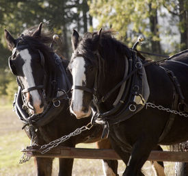 stock photo of workhorses  - shire horses pulling cart in harness pair workhorses - JPG