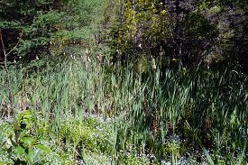 stock photo of cattail  - Cattails growing in a Northern Michigan swamp - JPG