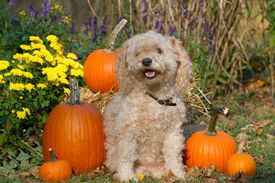 picture of cockapoo  - A capture of a cockapoo dog among the pumpkins - JPG