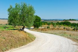 picture of farmhouse  - Old Olive Tree beside the Road Leading to Farmhouse in Tuscany Italy - JPG