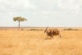 picture of eland  - Eland antelope in grass during the dry season - JPG
