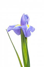 foto of purple iris  - Purple iris flower isolated on white background - JPG