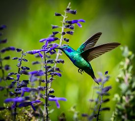 foto of hummingbirds  - The incredibly beautiful Green Violet Eared Hummingbird in the central mountains of Mexico - JPG