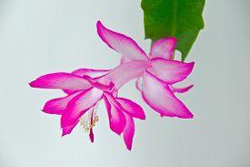 stock photo of schlumbergera  - Christmas cactus plant or Schlumbergera in full bloom - JPG