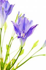 picture of cluster  - fresh brodiaea flower - JPG