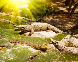 picture of crocodile  - Crocodiles in the river - JPG