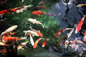 picture of fresh water fish  - Abstract images of Koi Fish swimming in water - JPG