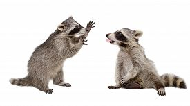 foto of raccoon  - Two funny raccoon playing together isolated on white background - JPG