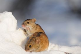 pic of field mouse  - Two Striped Field Mice  - JPG