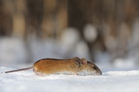 pic of field mouse  - Striped Field Mouse  - JPG