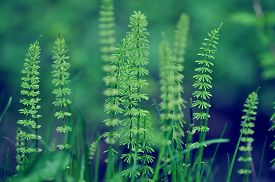 image of horsetail  - Young shoots of horsetail forest in early spring - JPG