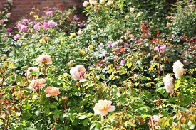 pic of english rose  - Beautiful English Roses in garden setting surrounded by green leaves - JPG