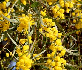 pic of mimosa  - branch of mimosa plant with round fluffy yellow flowers - JPG