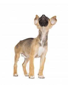 stock photo of spayed  - One tiny little adorable mixed breed puppy looks up - JPG