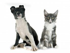 picture of collier  - puppy border collier and maine coon kitten in front of white background - JPG