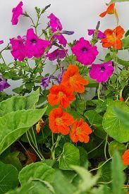 image of nasturtium  - bed of nasturtiums and petunias close up - JPG