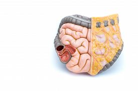 picture of intestines  - Artificial model of human intestines isolated on white background - JPG