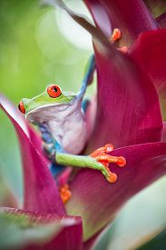 pic of red eye tree frog  - red eyed tree frog from the tropical jungle of Costa RIca and Panama macro of an exotic rain forest animal - JPG