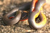 image of ringneck  - A small prairie ringneck snake attempts to hide it - JPG