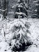Small fir-tree. Winter.