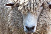 Closeup of Woolly Sheep