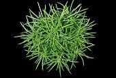 Green Wet Plant Succulent Seneca Himalaya