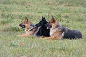 Three Germany Shepherds