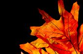 stock photo of maple tree  - Fall or autumn maple tree leaves on a black background - JPG