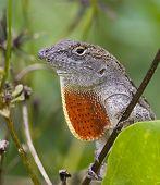 Close-Up Of A Cuban Brown Anole Lizard.