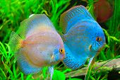 foto of diskus  - A discus fish  - JPG