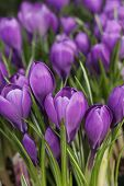 spring's first crocus flowers