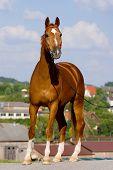 chesnut bavarian horse outside