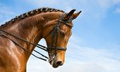 portrait of bay trakehner horse, dressage