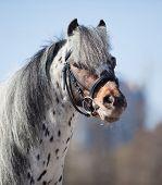Portrait of small pony appaloosa.