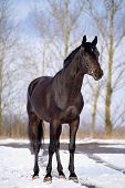 Black trakehner stallion standing at snow in winter