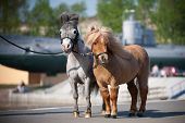 Chestnut and gray American miniature ponys (two), standing on embankment in city.